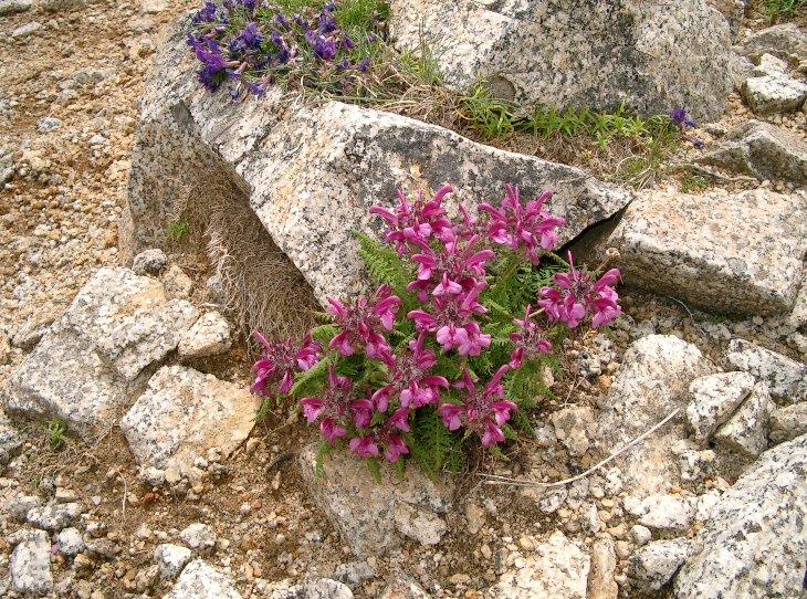 中央アルプスの高山植物