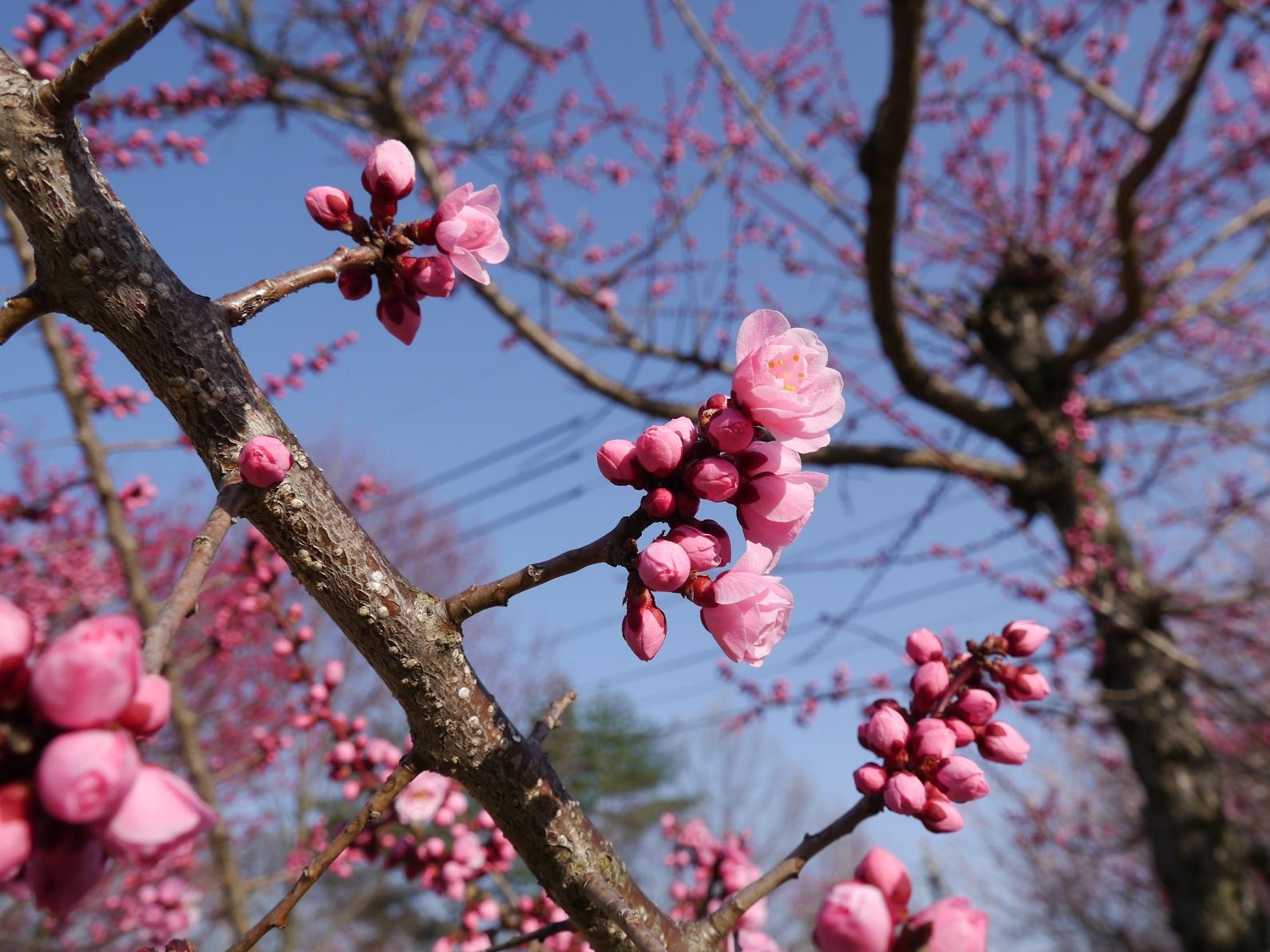梅公園 春満開