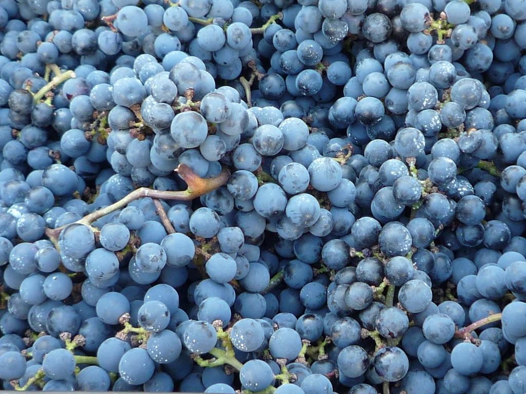 信州みやだワイン「紫輝」の仕込みが始まりました
