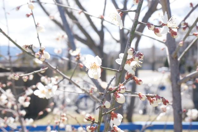 梅並木がきれいです