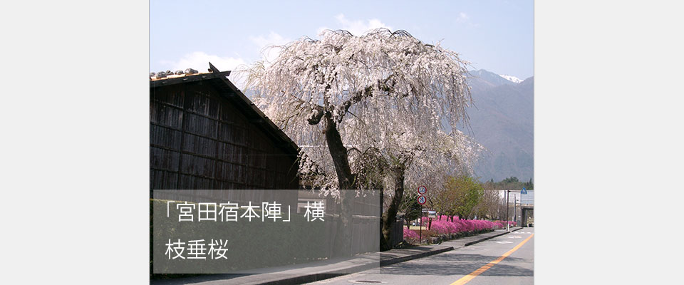 「宮田宿本陣」横 枝垂桜