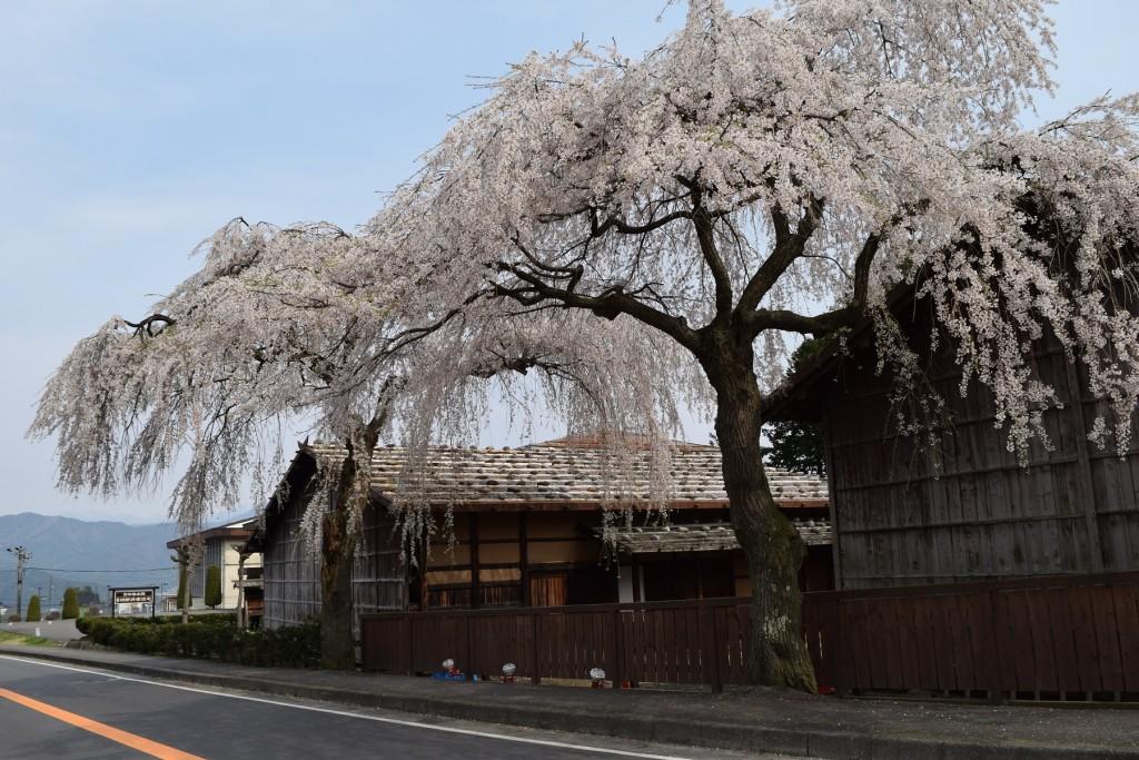桜もいよいよ終わり!?