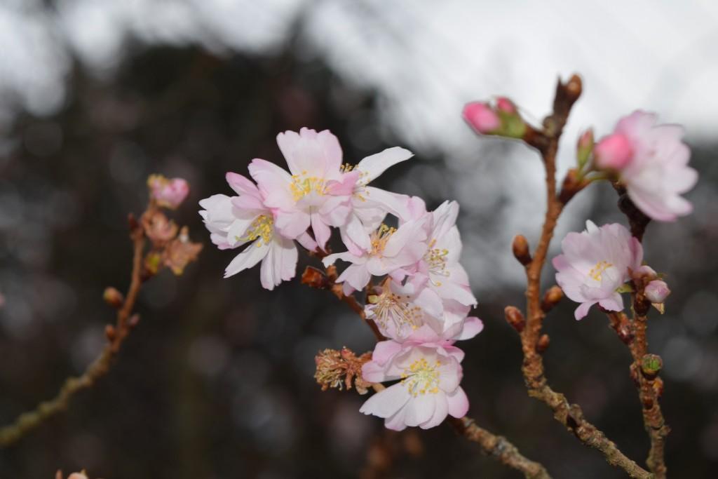 季節はずれの桜!?