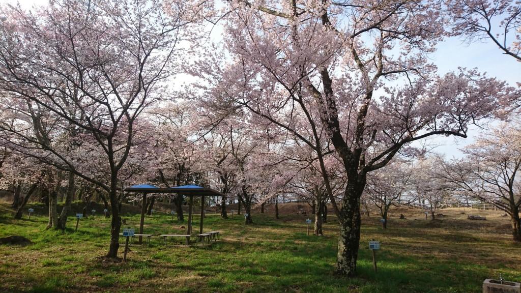 桜、咲いてます!