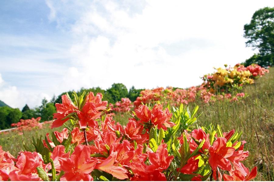 宮田高原のレンゲツツジの写真を募集します!