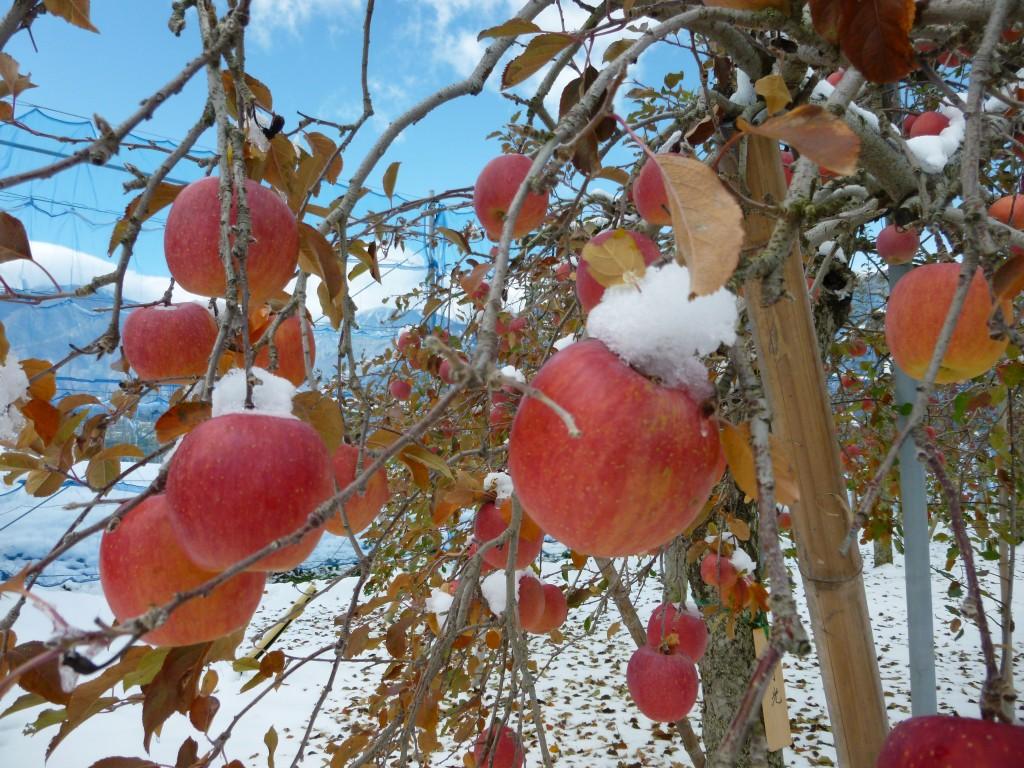 【ご連絡】11/27(日)宮田村リンゴオーナー収穫祭やります☆