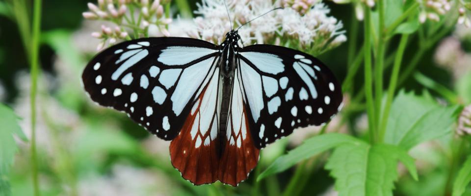 アサギマダラという蝶をご存知でしょうか?